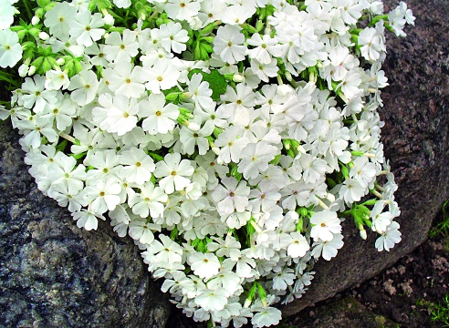 Квіти флокс дугласа. Флокс шилоподібний