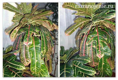 Прикмети і забобони про квітці кротон (кодіеум). Кротон (кодіеум) — правильний догляд за квіткою в домашніх умовах кротон значення квітки для дому