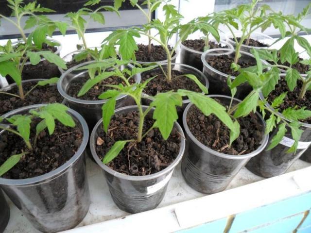 Томати посадка насіння на розсаду в квітні. Коли сіяти помідори на розсаду