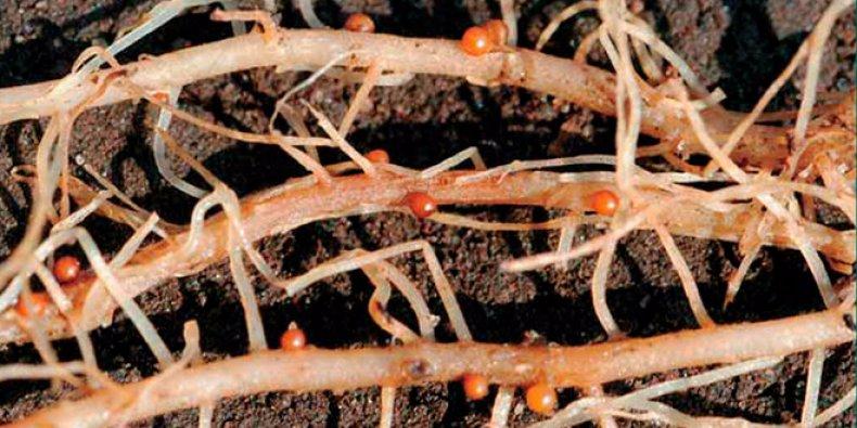 Як позбутися від картопляної попелиці. Картопляна попелиця-біологічні та хімічні способи знищення шкідника