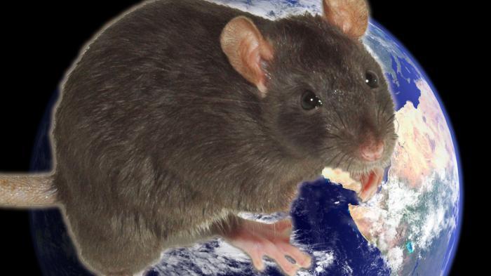 В 1936 рік щури коли настав. Китайський гороскоп щур, (миша)