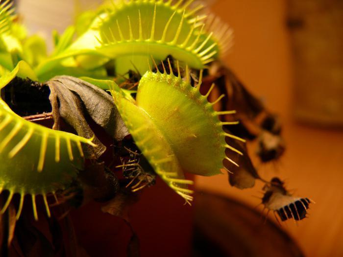 Комахоїдні рослини-екзотика у вашому домі. Рослини хижаки комахоїдні рослини догляд