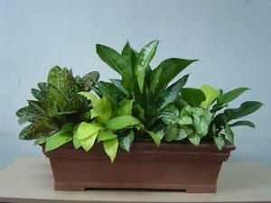 Квітка плант мікс догляд в домашніх умовах. Посадка і догляд за квіткою плант мікс в домашніх умовах плантекс мікс квітка