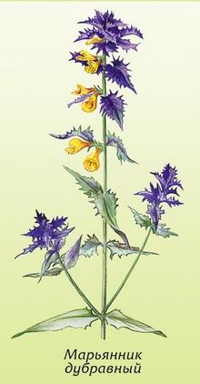 Марянник дібровний (melampyrum nemorosum). Марянник дібровний – іван-да-маря) - melampyrum пемогоѕим l. Сімейство норичникові-scrophulariaceae марянник дібровний