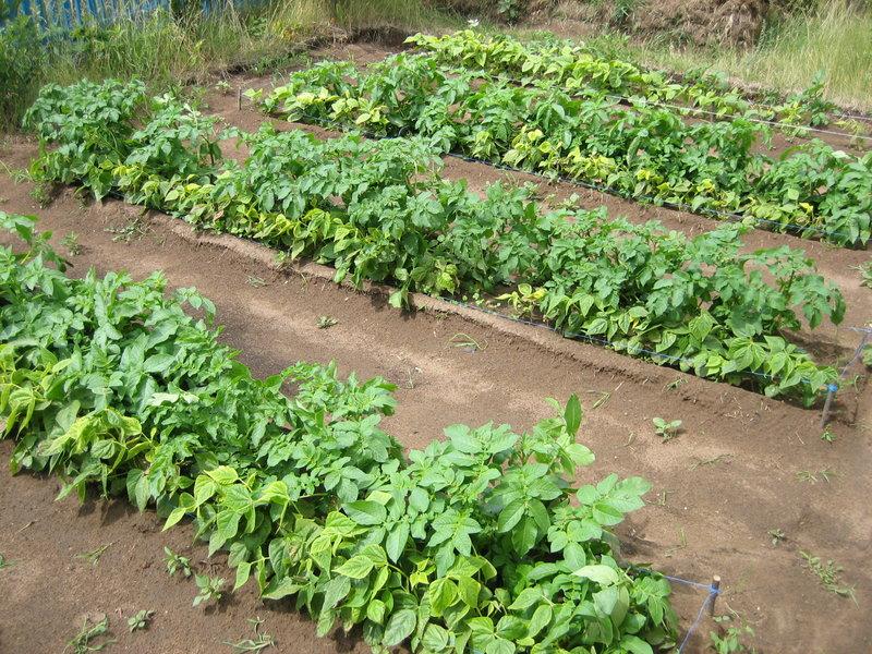 Поєднане вирощування картоплі і квасолі. З чим можна садити квасолю на одній грядці