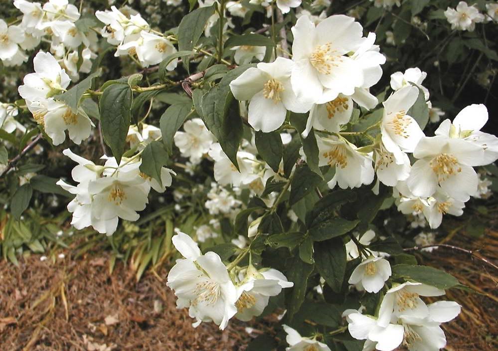 Коли краще обрізати жасмин восени або навесні. Осінній догляд за садовим жасмином: обрізка та інші заходи