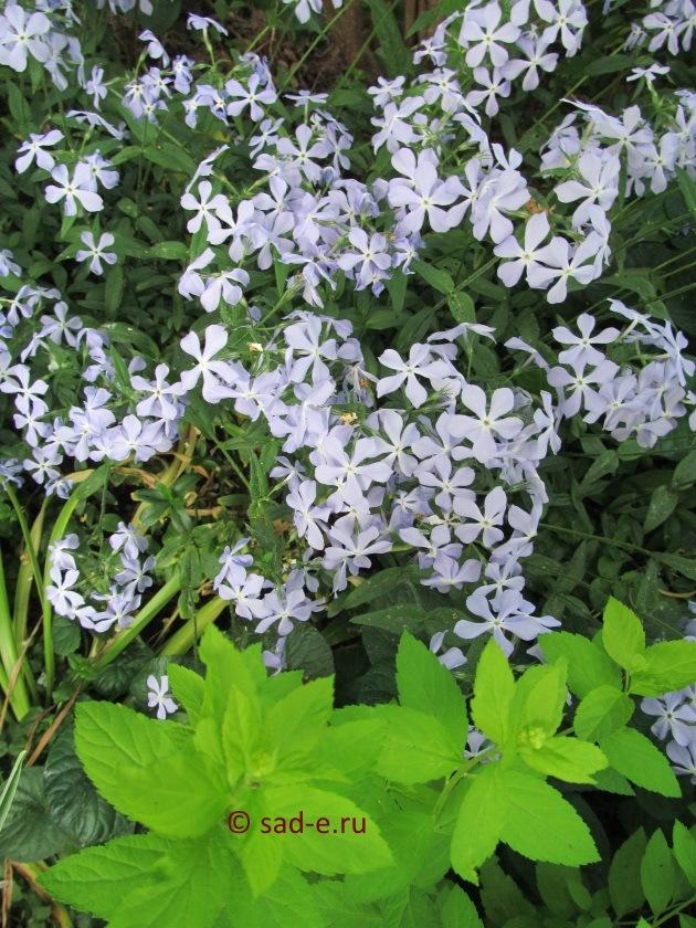 Флокс гострий. Вирощування сортових флоксів: особливості посадки та догляду за  вогненною квіткою