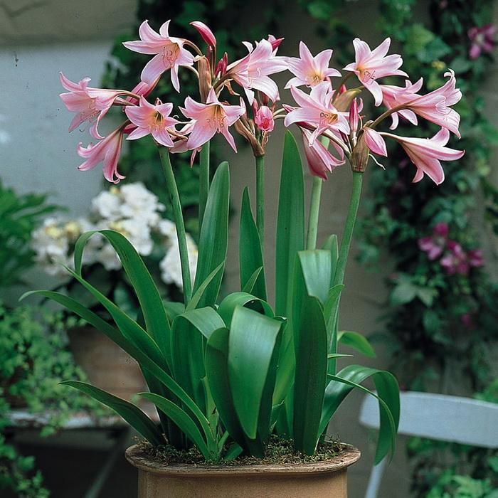 Кринум для саду: поради по посадці і догляду. Цибулинні квіти в домашніх умовах-опис рослин лілія кринум в саду