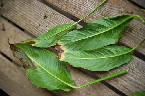 Чому чорніють листя у квітки спатифиллум. Чому у рослини спатифиллум чорніють квіти