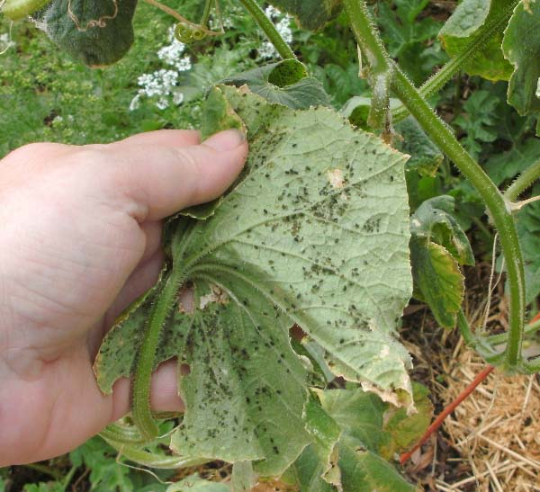Як правильно посадити огірки насінням. Коли краще садити огірки на розсаду і як це робити прпавільно