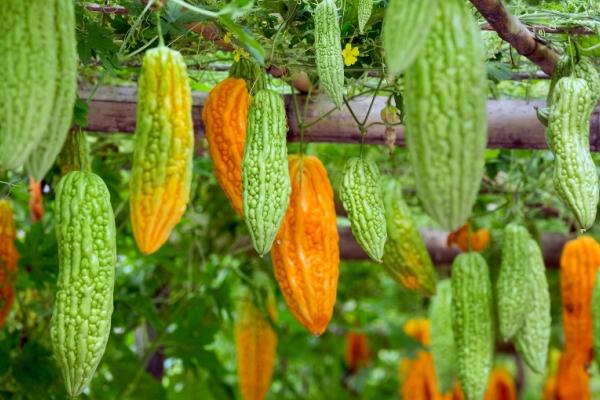 Види огірків (в т. Ч. І не огіркові) – фото і опис