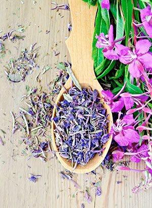 Лікувальні властивості і протипоказання полезнейшей трави іван-чай. Корисні властивості іван-чаю