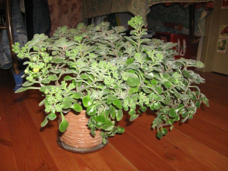 Аіхрізон-фото і догляд в домашніх умовах. Аихризон догляд в домашніх умовах дерево любові квітка кімнатна назва
