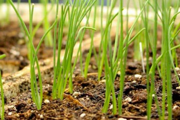 Чи виросте цибулю посаджений липні. Як правильно садити цибулю, щоб виросли великі цибулини