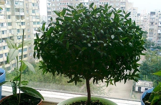 Поважне дерево-мирт. Догляд в домашніх умовах