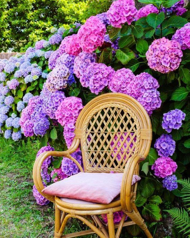 Квітка схожий на гортензію. Рідкісні види гортензій