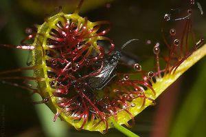 Для всіх і про все. Хижі рослини-майстри витончених вбивств хижі рослини і комахи