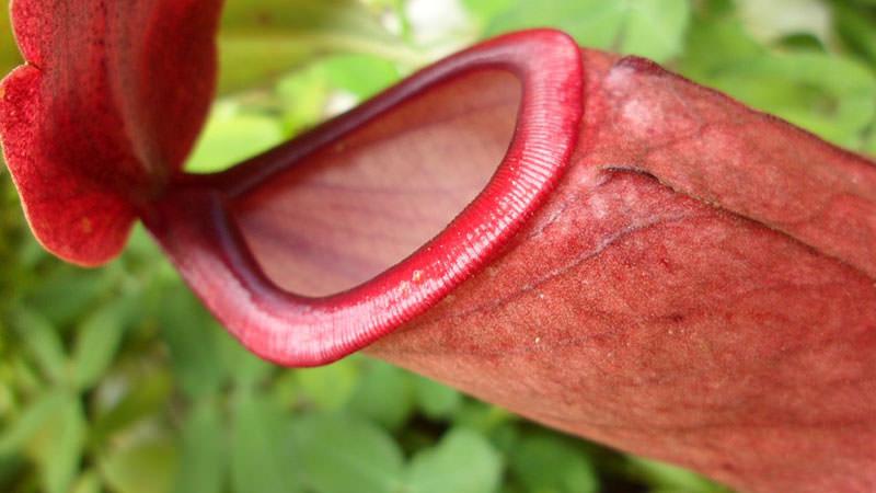 Хижі представники флори. Дивовижне творіння природи-хижі рослини (13 фото) квітка харчується комахами