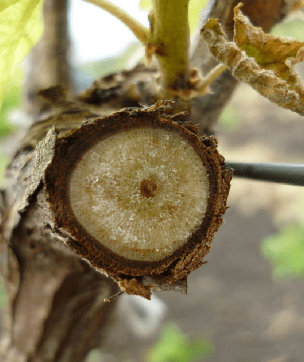 Чорні точки на пагонах винограду. Хвороби винограду: фото і поради садівників по лікуванню