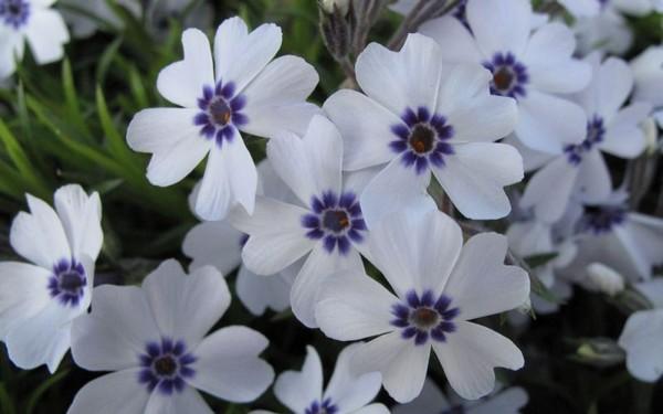 Квіти флокс дугласа. Детально про зливу