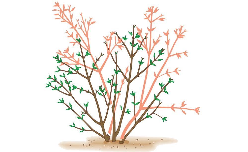 За цвіте чи форзиція після обрізки. Обрізка форзиції навесні