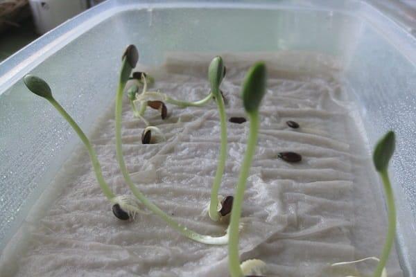 Сольовий розчин для перевірки схожості насіння. Перевірка насіння на схожість в домашніх умовах