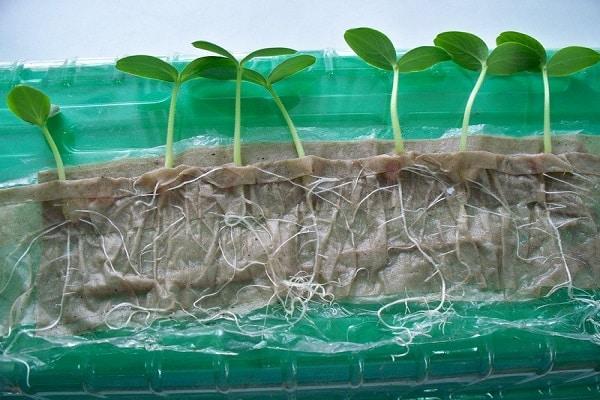Соляний розчин для перевірки насіння. Детально про зливу
