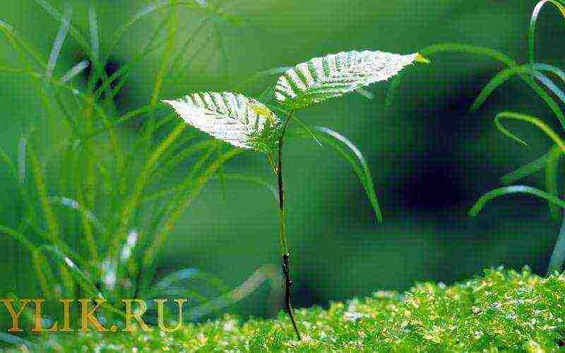 Коли посадити березу. Як правильно посадити і доглядати за березою восени