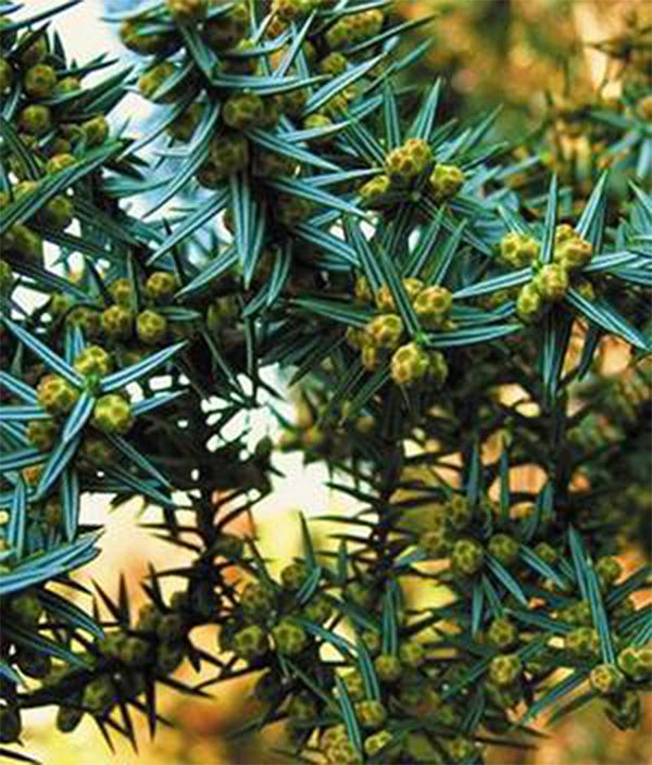Види і сорти ялівцю з назвами і фото. Знайомимося з поширеними видами і сортами ялівцю е-каталог декоративних рослин для саду» ландшафт  - декоративні хвойні і листяні дерева і чагарники, ліани, травянисті багаторічні раст