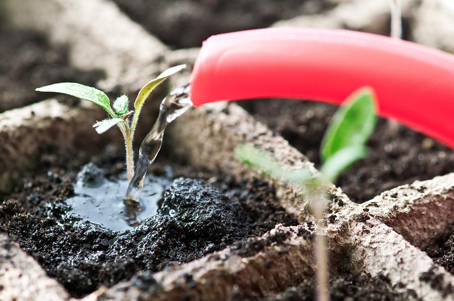 Чому розсада помідорів не росте? як врятувати посадковий матеріал?