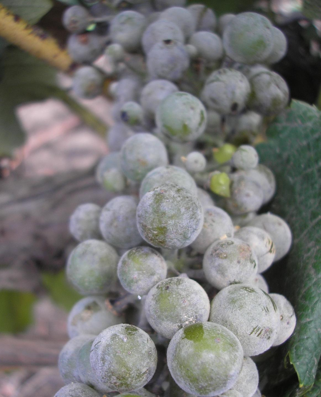 Чорні точки на листках винограду. Розпізнаємо і лікуємо хвороби винограду