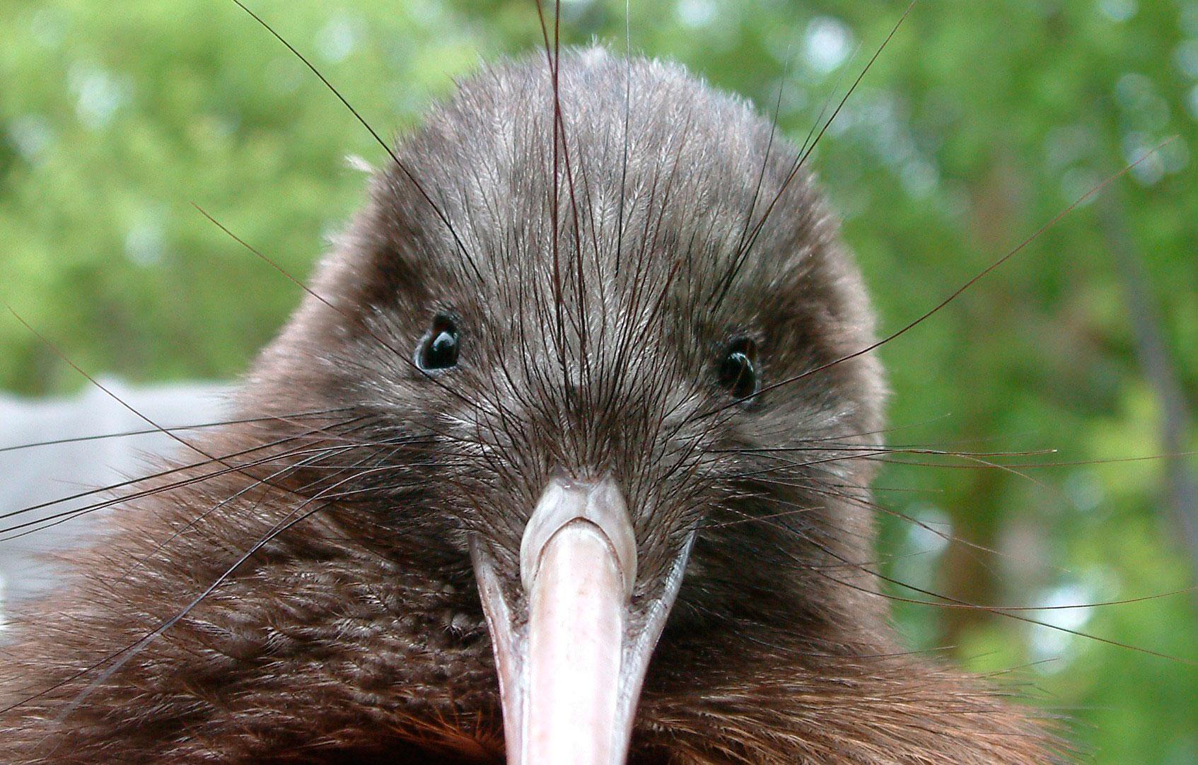 Ківі (птах): цікаві факти, опис, особливості. Птах ківі