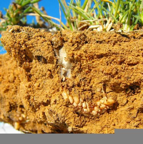 Кобилка степова кримська. Як купити здорову розсаду овочів і квітів повідомлення про сарану