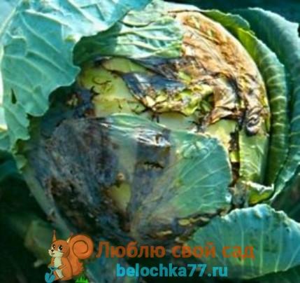 Жовті плями на капустяному листі. Хвороби і шкідники білокачанної капусти і боротьба з ними