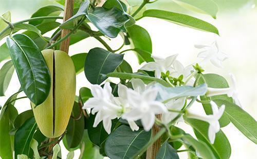 Чому не цвіте мадагаскарський жасмин. Стефанотіс: догляд в домашніх умовах за мадагаскарським жасмином