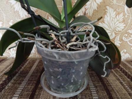 Як пересадити орхідею в домашніх умовах, щоб не нашкодити їй? як пересадити орхідею (коли і як правильно) який горщик вибрати при пересадці орхідеї.